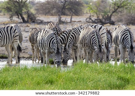 A group of zebras drink from a small waterhole. - stock photo