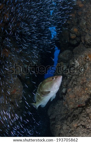A grouper hunts a school of silversides as they swarm in a narrow crevice in a reef on the island of Grand Cayman in the Caribbean. Silversides are seasonal and serve as prey to many reef predators. - stock photo