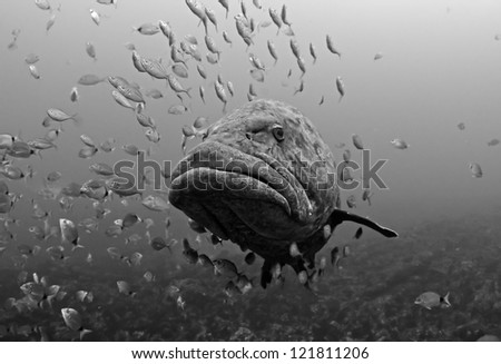 A grouper with a swarm of fish on Aliwal Shoal - stock photo