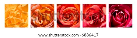 A grouping of five rose close-up images arranged by color. - stock photo