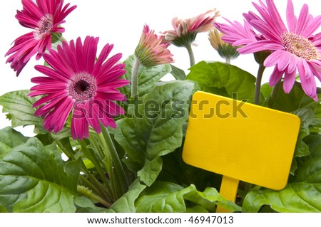 A grouping of Spring daisies in various shades of pink with a bright yellow blank sign / garden stake.  Isolated on a white background.