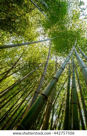 A grove of Bamboo Trees in bright sunlight - stock photo
