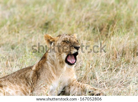 A grumbling lion cub in the grassland - stock photo