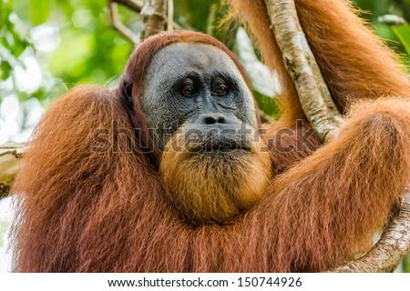 A grumpy looking wild Orangutan - stock photo