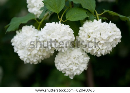 A Guelder rose (Viburnum opulus), blooming in a garden. - stock photo