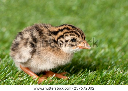 A guinea fowl hatchling is exposed on a patch of grass. - stock photo