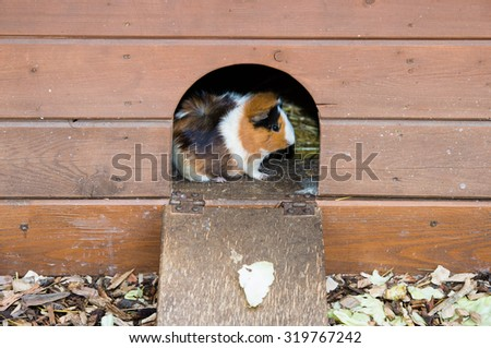 A guinea pig  looking from  wooden house. - stock photo