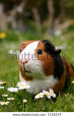 A guinea pig or cavy sitting in a spring field with flowers
