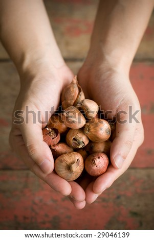A guy holding some onions on wooden background. This shot was taken at outdoor with natural lighting. - stock photo