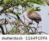 A Hadeda Ibis perched in a thorn tree - stock photo