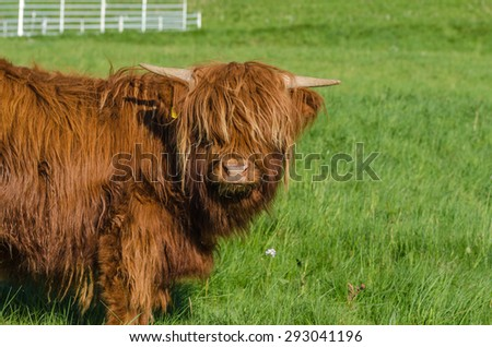 A hairy Scottish Cow - stock photo