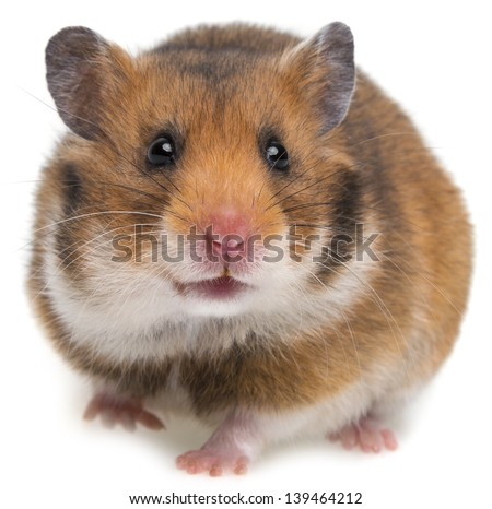 a hamster isolated on a white background - stock photo