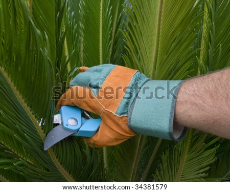 A hand of a man with gardening gloves holding a pair of scissors, with a palm tree in the background. - stock photo