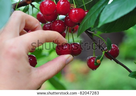 a hand picking cherry from tree - stock photo
