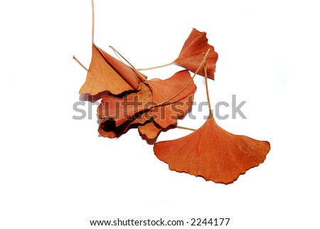 A handful of brown Ginkgo biloba leaves, on white background. - stock photo