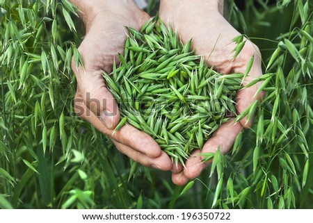 a handful of ripe green oats on the background of the summer field, harvest concept  - stock photo
