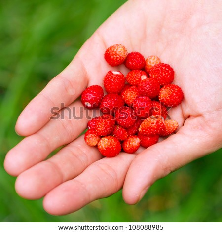 A handful of wild strawberries in a female hand