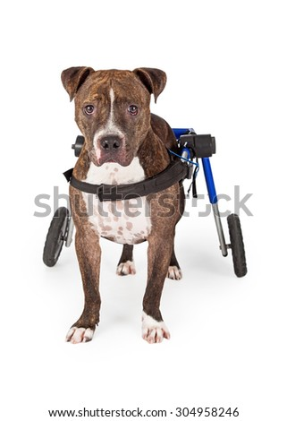 A handicapped Staffordshire Bull Terrier Dog standing in a wheelchair while looking directly into the camera.