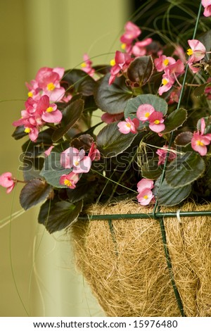 A hanging wire basket full of Pink Begonias - stock photo