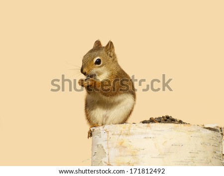 A happy baby squirrel on a birch log enjoying some sunflower seeds in the fall with copy space.  - stock photo