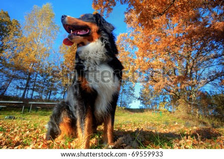 A happy Bernese mountain dog sitting outdoors on grass during a sunny, fall day - stock photo