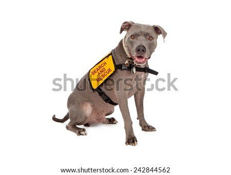 A happy blue Pit Bull dog wearing a yellow search and rescue vest - stock photo
