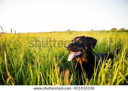 A happy boucheron dog on a grass on a sunset.