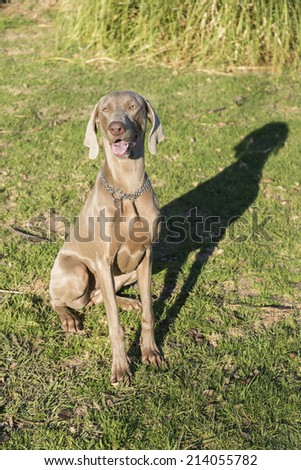A happy dog panting, sitting on the grass in a park, purebred hunting female Weimaraner, also known as silvery-gray, gray ghost or silver ghost. - stock photo