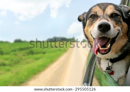 A happy German Shepherd Mix breed dog is hanging is tongue out of his mouth with his ears blowing in the wind as he sticks his head out a moving and driving car window.
