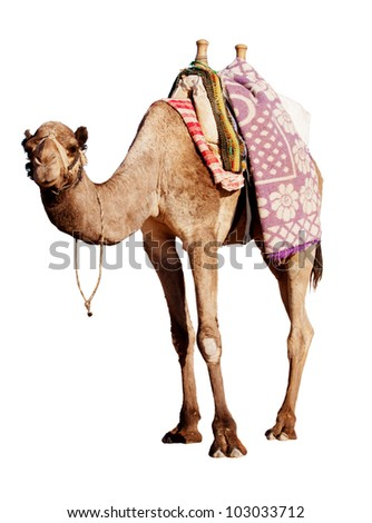 A happy, grinning camel isolated in profile on white