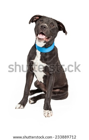 A happy Labrador Retriever Mix Breed Dog sitting at an angle while looking at the camera.  - stock photo