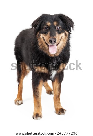 A happy looking English Shepherd Mixed Breed Dog standing looking directly into the camera.  Mouth is open. - stock photo
