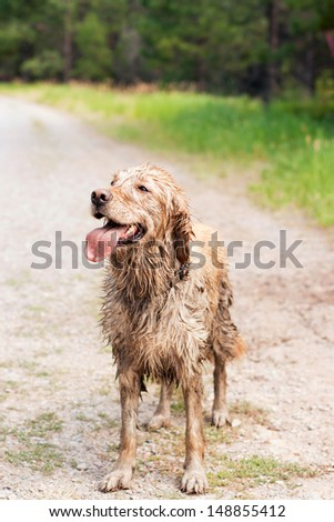 A happy, muddy, and wet golden retriever in the outdoors - stock photo