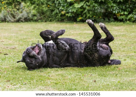 A happy Staffordshire Bull Terrier dog rolling on grass - stock photo