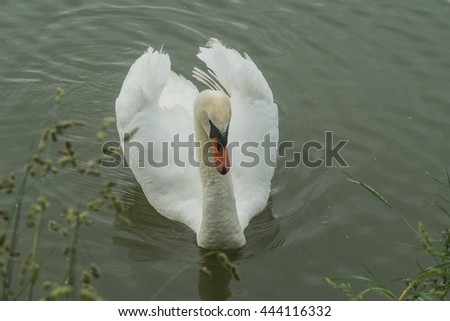 A happy swan is floating on the water - stock photo