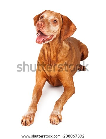 A happy Vizsla breed dog laying and looking up with her mouth open in a smile