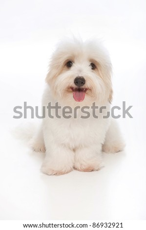A happy, white, 7 month old Coton de Tulear dog, sitting & looking into the camera. This rare breed is related to the Bichon Tenerife & Tenerife Terrier. Studio shot is isolated on a white background. - stock photo