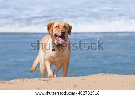 A happy yellow Labrador (lab) retriever runs off leash on the famous dog friendly beach in Carmel by the Sea, California - stock photo