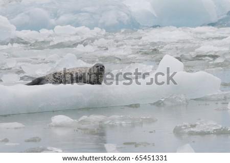 A Harbor Seal on an iceberg in Tracy Arm Alaska - stock photo
