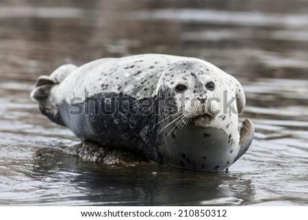 A Harbor seal (Phoca vitulina) has hauled itself onto a rock to rest.  - stock photo
