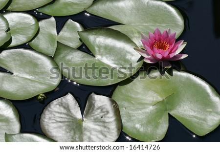 A hardy waterlily amongst green lily pads - stock photo
