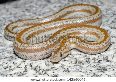A harmless rosy boa on a granite rock in the desert. - stock photo