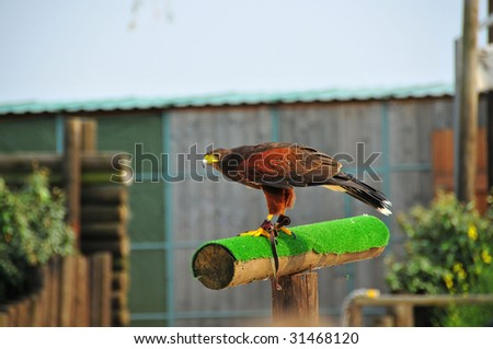a harris (or dusky) hawk from a falconry centre ready to take off - stock photo