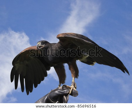 A Harris's Hawk on the Hand of A Falconer - stock photo