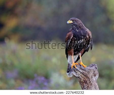 A Harris's Hawk (Parabuteo unicinctus) sitting on a stump.  - stock photo