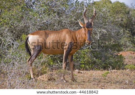 A Hartebeest Bull stands and looks at the photographer