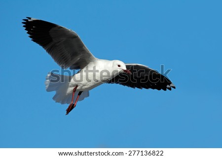 A Hartlaubs gull (Larus hartlaubii) in flight against a blue sky, South Africa - stock photo