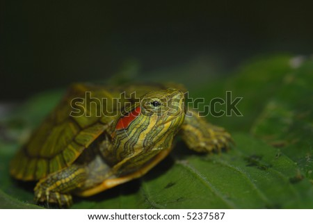 A hatchling red-eared slider turtle is shown here on a bed of green leaves and a dark background.