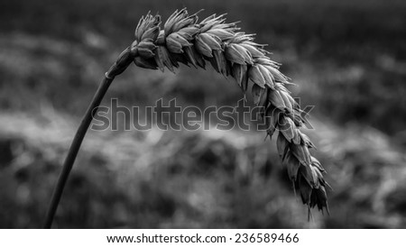 A haulm of wheat on a German field near Heidelberg - stock photo