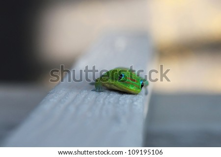 A Hawaiian Gecko looking at me with curiously - stock photo